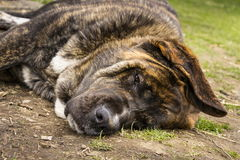 Brindle English Mastiff lay on side on green grass