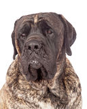 Brindle English Mastiff Dog Closeup