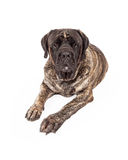 Brindle English Mastiff Dog Laying Stock Photography