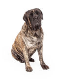 Brindle English Mastiff Dog Sitting Royalty Free Stock Photo