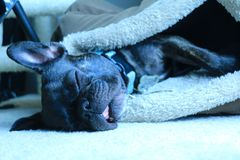 Brindle french bulldog sleeping Royalty Free Stock Photos