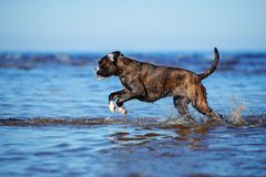 German boxer dog running on water Stock Images