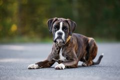German boxer dog posing outdoors in summer Stock Photography