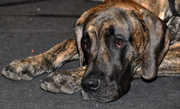 Brindle German dog Royalty Free Stock Image