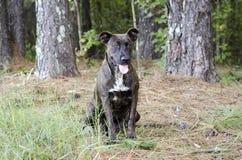 Brindle Great Dane mieszający trakenu dyszeć psi jęzor Fotografia Royalty Free
