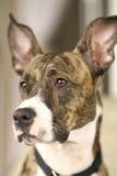Brindle Hund Lizenzfreies Stockfoto