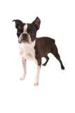Brindle i Biały Boston Terrier Stading Zdjęcia Stock