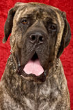Brindle Mastiff. A large brindle Mastiff with read studio background Royalty Free Stock Images