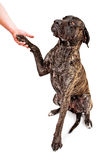 Brindle Mastiff dog shaking hands Stock Photography