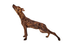 Brindle mixed breed dog stretching. Profile of a brindle mixed breed dog stretching on white background Stock Photos