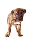Brindle Mixed Breed Puppy Stock Photos