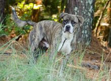 Brindle Mixed Dog outdoors. Brindle Mixed Bulldog outdoors on leash animal shelter adoption photo stock photo