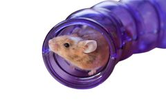 Brindle mouse Royalty Free Stock Photos