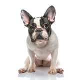 Brindle Pied French bulldog Stock Photo