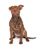 Brindle Pit Bull Cross Sitting Stock Image