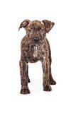 Brindle Pit Bull Mixed Breed Puppy Standing Stock Image