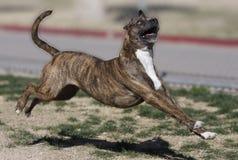 Brindle Pitbull, das durch den Park läuft Stockbilder