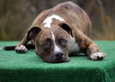 Brindle Pitbull laying on the dock Stock Photography