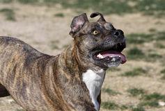 Brindle Pitbull looking up. A brindle pitbull looking up after running for a toy Stock Photo
