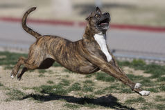 Brindle Pitbull running through the park. A brindle pitbull running through the park and leaping in the air stock images