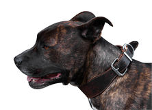 Brindle Pitbull Terrie Royalty Free Stock Image