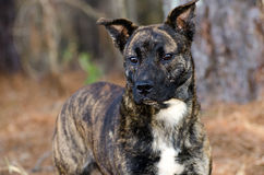 Brindle Pitbull Terrier Dutch Shepherd mixed breed dog Stock Image