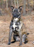 Brindle Pitbull Terrier Dutch Shepherd mixed breed dog Stock Images