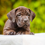 Brindle puppy Stock Image