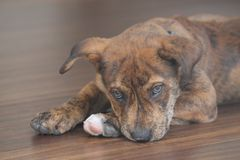 Brindle Puppy Royalty Free Stock Images
