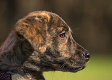 Brindle puppy Royalty Free Stock Image
