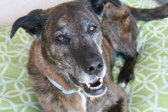 Brindle Shepherd On Green Dog Bed Stock Photos