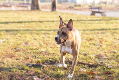 Brindle Staffordshire playing outdoor Royalty Free Stock Photos