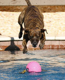 Brindle striped dog jumping into the pool Royalty Free Stock Photos