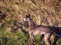 Brindle Whippet. In field wearing leather collar Royalty Free Stock Image