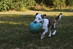 Brindle and White American Pit Bull Terrier Puppy Walking Outdoor Holding Green Ball royalty free stock photography