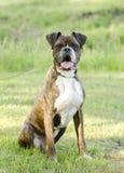 Brindle and white Boxer dog sitting, pet rescue adoption photo Stock Photography