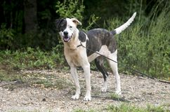 Brindle and white mixed breed female dog Stock Image