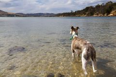 Brindle and white whippet in ocean Stock Image