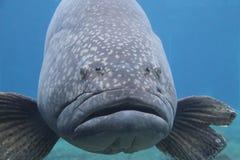 Brindlebass, Giant grouper Royalty Free Stock Image