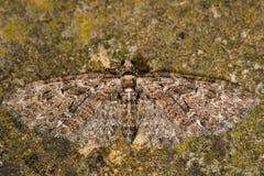 Brindled сумеречница мопса (abbreviata Eupithecia) стоковые изображения