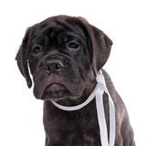 Brindled bullmastiff puppy Royalty Free Stock Photography