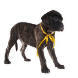 Brindled bullmastiff puppy standing Royalty Free Stock Photos