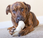 Brindled hound with a bone. Brindled hound with a rawhide bone royalty free stock image