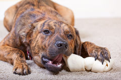 Brindled hound with a bone. Brindled hound with a rawhide bone royalty free stock photos