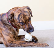 Brindled hound with a bone. Brindled hound with a rawhide bone royalty free stock images