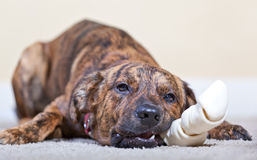 Brindled hound with a bone Royalty Free Stock Photo