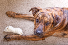 Brindled hound with a bone Royalty Free Stock Photography