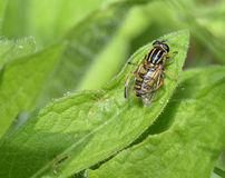 Brindled Hoverfly or Sunfly Royalty Free Stock Photos