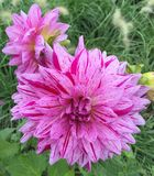 brindled pink blossom Stock Image