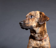 A brindled plott hound. In studio royalty free stock images